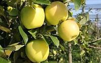 Яблоня Голден Делишес, фото 1