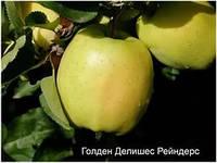 Яблоня Голдан Рейнджерс, фото 1