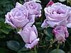 Чайно-гибридная роза сорта Голубой Нил (Blue Nile)