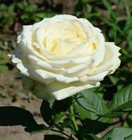 Чайно-Гибридная роза сорта Аваланж (Avalanche), фото 1