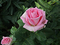 Чайно-Гибридная роза сорта Аква (Aqua)