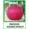 Яблуня Хоней Крисп