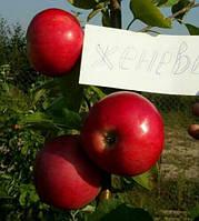 Яблоня Женева