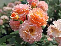 Роза кустовая Роз де Жерберуа