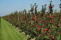 Саженцы яблуни
