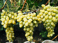 Виноград Аркадия, фото 1