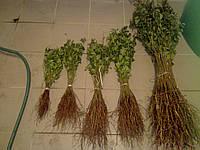 Сеянцы антипки (магалепки), фото 1