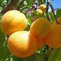 Саженцы абрикоса, фото 1