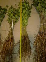 Сеянец антипки (магалепка) высотой 50-60см