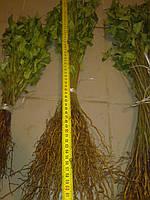 Сеянец антипки (магалепки) высотой 30-40 см