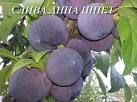 Слива АннаШпет