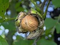 Саженцы грецкого ореха Клишкивский (двухлетний)