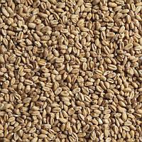 Пшеничный солод (Malteurop UA), EBC 3.5-5