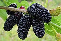 Саженцы шелковицы  крупноплодная Черный принц
