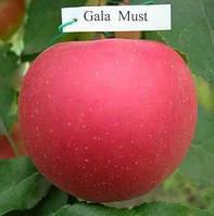 Яблоня Гала Муст