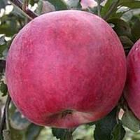 Яблоня Деличия