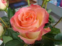 Роза Дуэт (Duett), фото 1