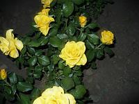 Роза Керио (Kerio), фото 1