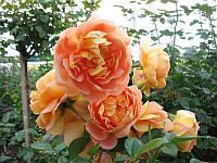 """Роза """"Солей д'Ор"""""""