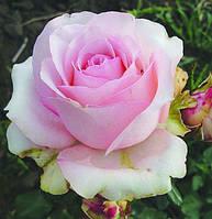 Роза Юниверс (Universe), фото 1