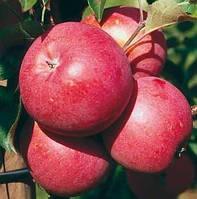 Яблуко Ембасси