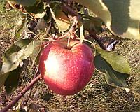Яблоня Бребун