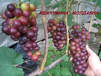Виноград Жемчужина молдавии
