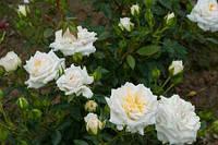 Роза бордюрная Хонемилк