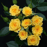 Роза бордюрная Свит дрим Крим