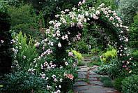 Роза плетистая Венуста пендула