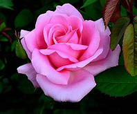 Роза Графиня Беттина (Grafin Bettina), фото 1