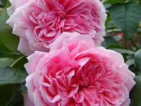 Розы кустовая Курфюрстин Софи