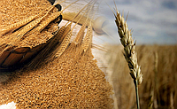 Мировой рынок зерна: Украина опережает Россию