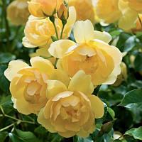 Троянда англійська Баттеркап