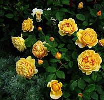 Троянда англійська Голден Селебрейшен