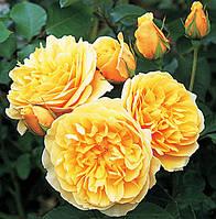 Троянда англійська Томас Грехем