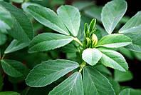 Fenugreek Extract, фенугрек экстракт, пажитник сенной, шамбала, греческое сено, метхи, фото 1
