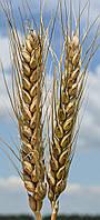 Семена озимой пшеницы Благодарка Одесская (элита)