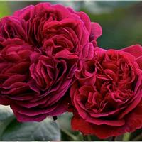 Троянда англійська Манстед Вуд