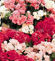 Флокс Проміс (колір на вибір) 100 шт., фото 1