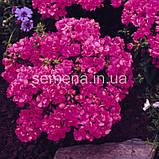 Флокс Проміс (колір на вибір) 100 шт., фото 2