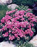 Флокс Проміс (колір на вибір) 100 шт., фото 3