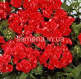 Флокс Проміс (колір на вибір) 100 шт., фото 4