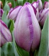 """Тюльпан Триумф """"Jacuzzi"""" светлой лилово-сиреневой окраски"""