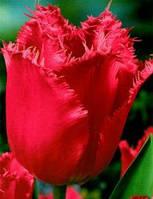 "Тюльпан Бахромчатый ""Madison Garden"" розовый"
