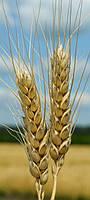 Семена озимой пшеницы Зыск (элита)