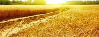 Пшеница озимая Лукуллус (SAATBAU)