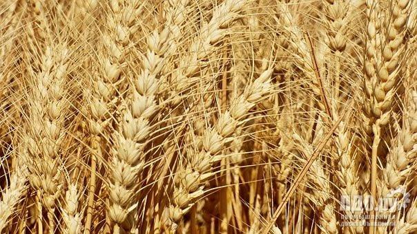 Пшеница озимая Дагмар (Limagrain)