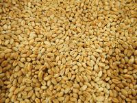 Пшеница озимая( Квебек -117 )(Прейри-109)