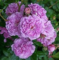 Роза кустовая Блу Бой